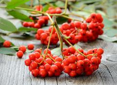 rowanberry on the table - stock photo