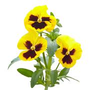 Viola flowers on white background Stock Photos