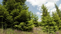 green spruce bask under the hot summer sun, surrounded wildflowers, clouds - stock footage