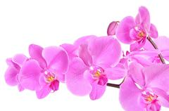 phalaenopsis orchid branch isolated on white background - stock photo