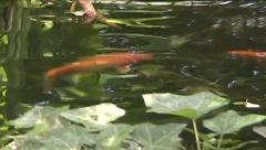 Fish in a Pond Stock Footage