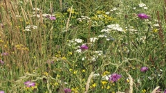 Wildflower meadow on sandy soil with a mixture of grasses and plants t Stock Footage