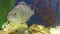 Fish, Perch Stock Footage