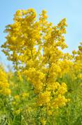 Galium verum flower on meadow Stock Photos