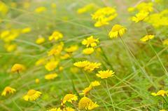 anthemis tinctoria flowers on meadow - stock photo