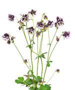 aquilegia vulgaris flowers on white background - stock photo