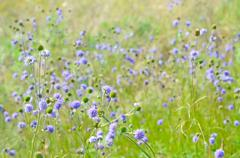 succisa pratensis flowers on meadow, selective focus - stock photo