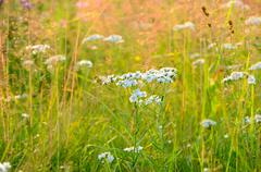 achillea cartilaginea flowers - stock photo