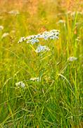 achillea cartilaginea flower - stock photo