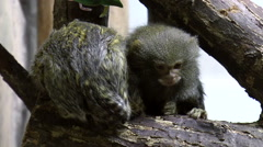 Mammals-Pygmy marmoset monkeys Stock Footage