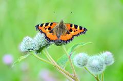 butterfly on great burdock plant - stock photo