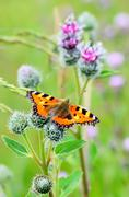 Butterfly on great burdock Stock Photos