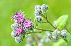 Flowering great burdock (arctium lappa) Stock Photos