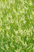 Stock Photo of melilotus albus flowers