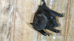 Greater spear-nosed bat (Phyllostomus hastatus) roosting in an abandoned house  Stock Footage