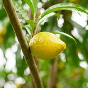 tiesa growing on tree - stock photo