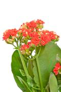 kalanchoe flower, close up view - stock photo