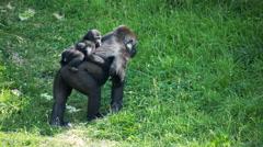 Gorilla monkey animal wild safari park zoo nature Stock Footage