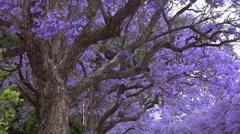 Jacaranda tree Stock Footage
