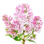 blooming of pink lilac (syringa) - stock photo