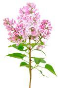 Blooming of pink lilac (syringa) Stock Photos