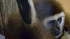 Mammals-monkeys Lar gibbon Stock Footage