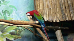 Bird, Black-necked aracari Stock Footage