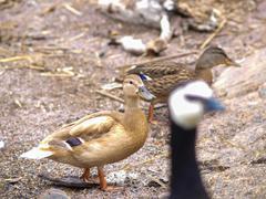 Stock Photo of Light brown mallard duck