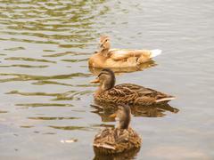 Light brown mallard duck Stock Photos