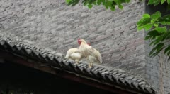 Stock Video Footage of hens on the roof