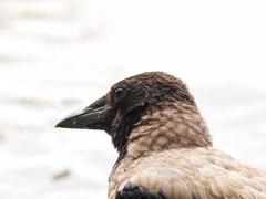 Crow portrait Stock Photos