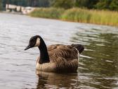 Stock Photo of Barnacle goose
