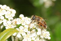 Bee on white flower with big eye - stock photo