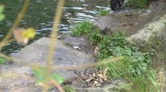 Close-up of brown bear (Ursus arctos) paws walking Stock Footage