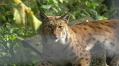 Tele shot of lynx looking out and lying on tree branch tele Stock Footage