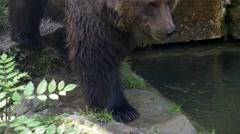 Brown bear (Ursus arctos) walking in Slow motion close-up Stock Footage