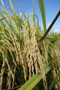 The ripe paddy field is ready for harvest Stock Photos