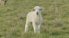Cute Young Lamb Bleating and Looking Around Stock Footage