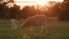 Ewe and Lamb Grazing in a Paddock at Sunset Stock Footage