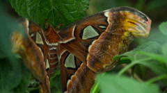 Butterfly atlas moth wildlife nature environment plants Stock Footage