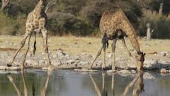 Girafes drinking waterhole Stock Footage