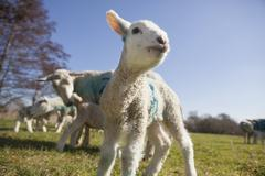 Lambs and mature sheep in the meadow. Spring lambs. Stock Photos