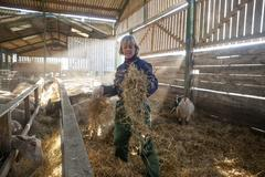 A woman shepherd in blue overalls standing in sheep barn spreading straw Stock Photos