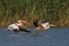 White pelicans in flight Stock Photos
