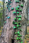 ivy ordinary or ivy climbing (lat. hedera helix) - stock photo