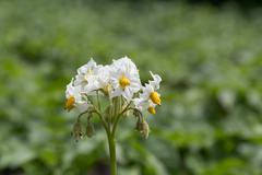 Potato Blossom (Solanum Tuberosum) on Farm Field Stock Photos