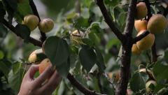 Gently picking organic apricots Stock Footage