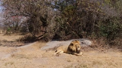 Lounging Lion Stock Footage