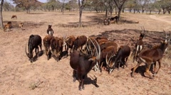 Herd of Antelope (1 of 2) Stock Footage