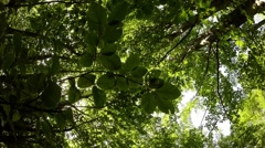 Millions of green beech leaves swaying in the wind a bottom view - stock footage